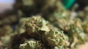 dutch quarter ganja bust legalize it don't criticize it (12)