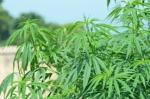 dutch quarter ganja bust legalize it don't criticize it (14)