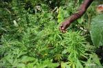 dutch quarter ganja bust legalize it don't criticize it (15)